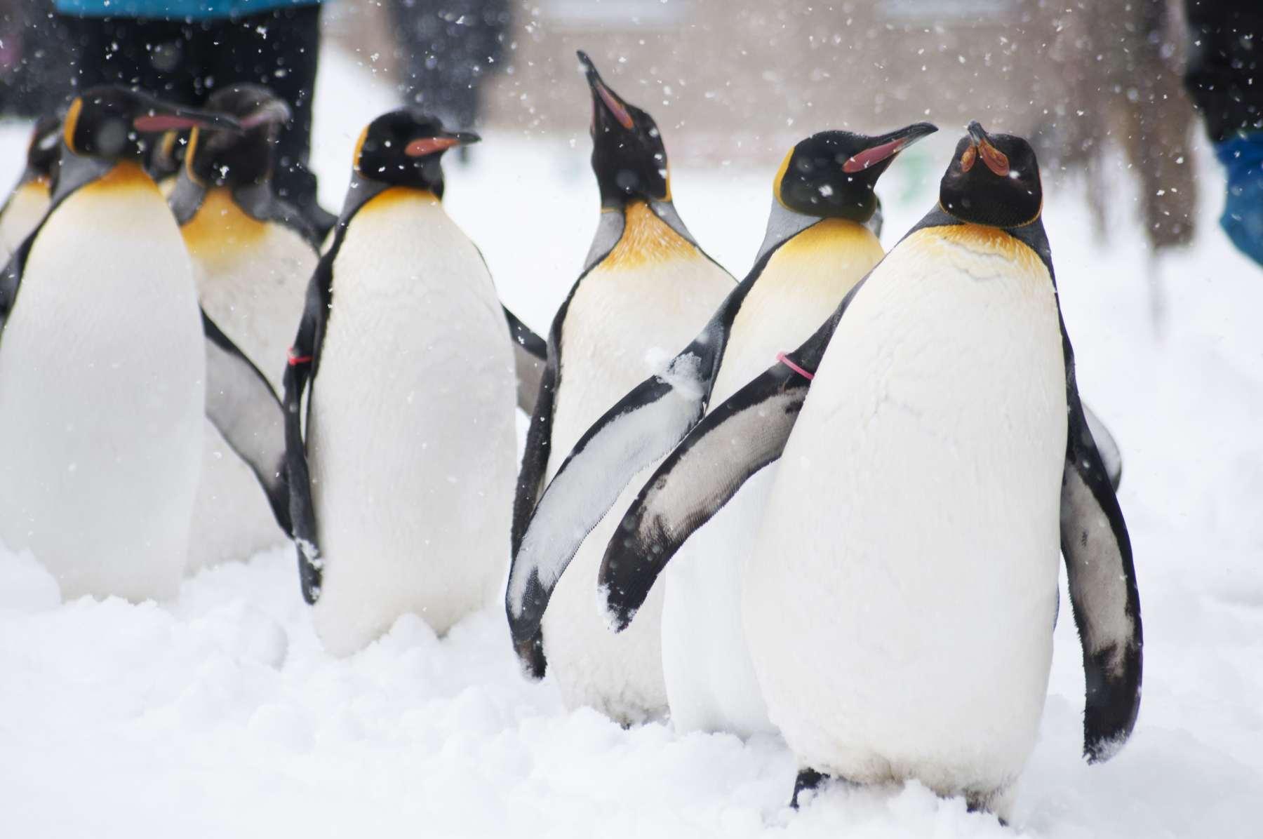 Tierfotografie von Kaiserpinguinen im Schnee