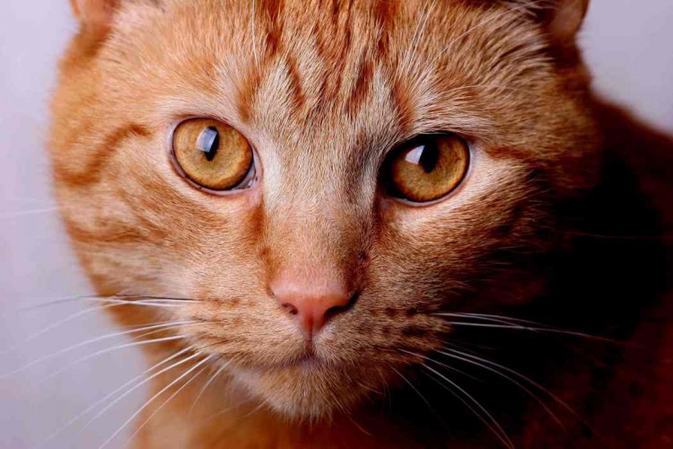 Braungestreifte Katze im Portrait fotografiert
