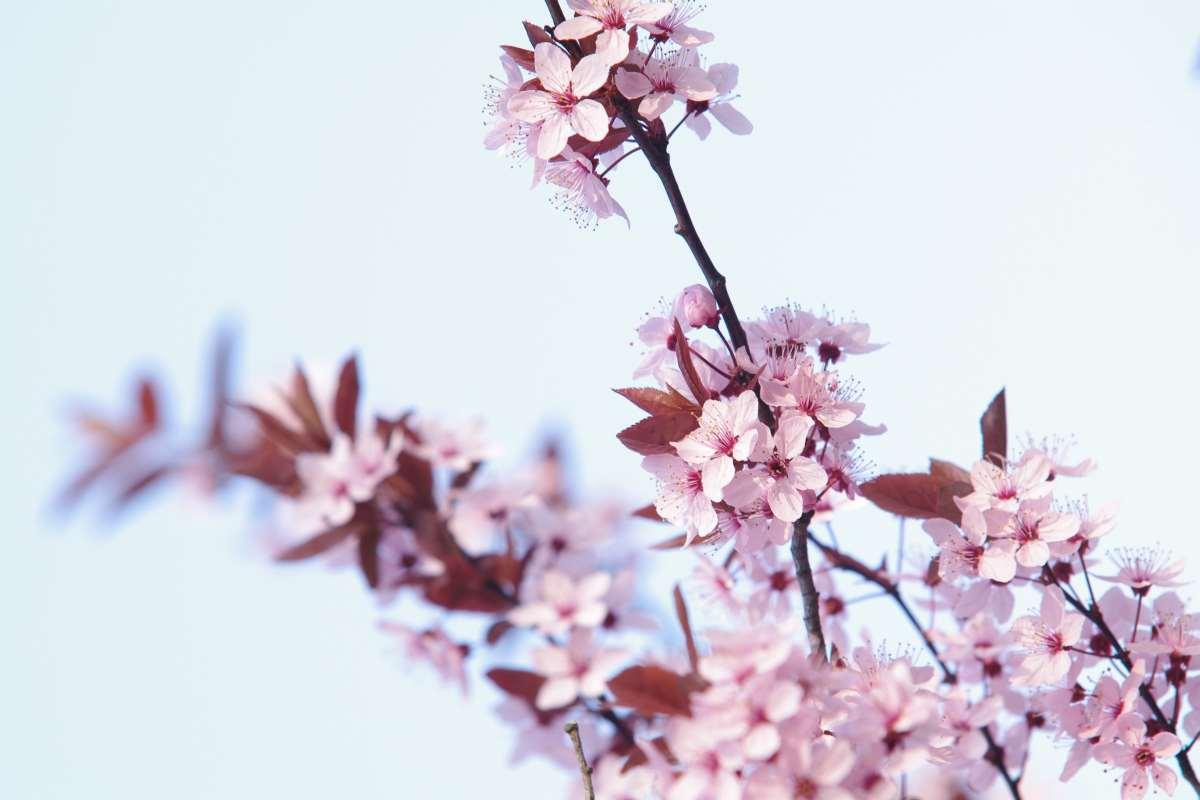 Eine rosa-weiße Kirschblüte aus Japan