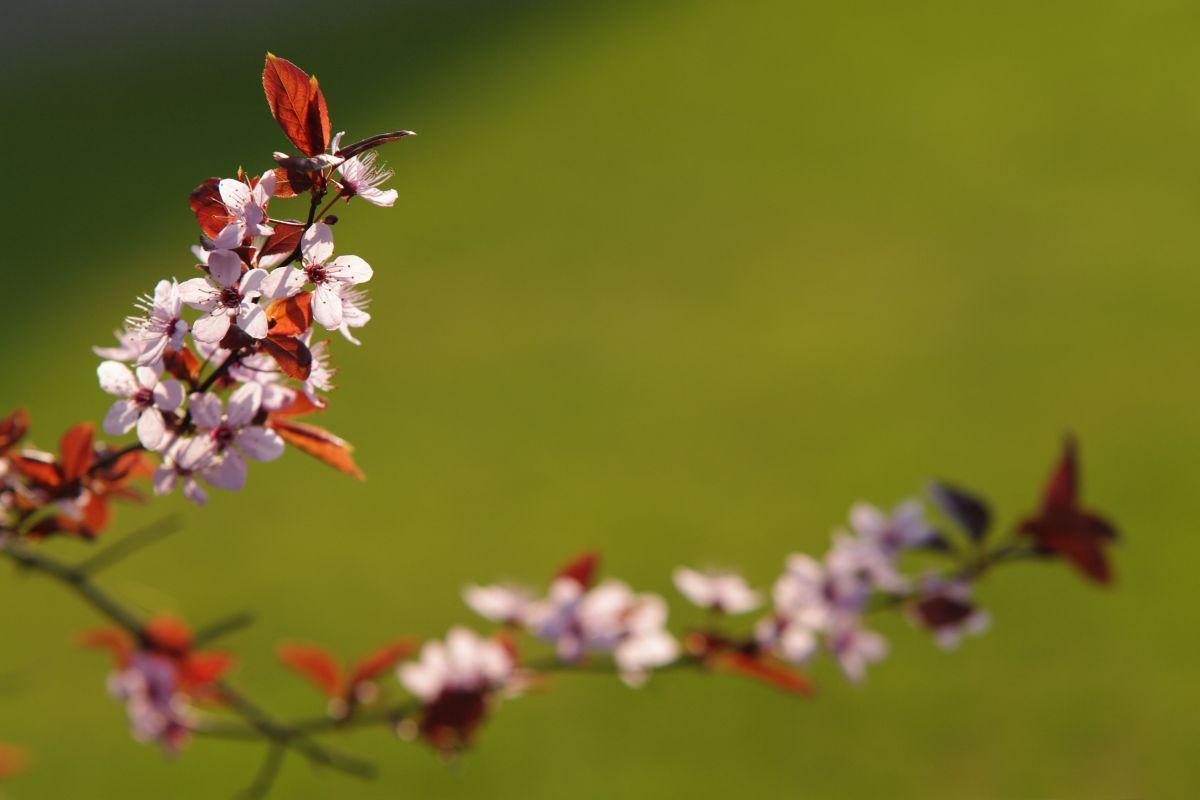 Kirschblüte vor grünem Hintergrund