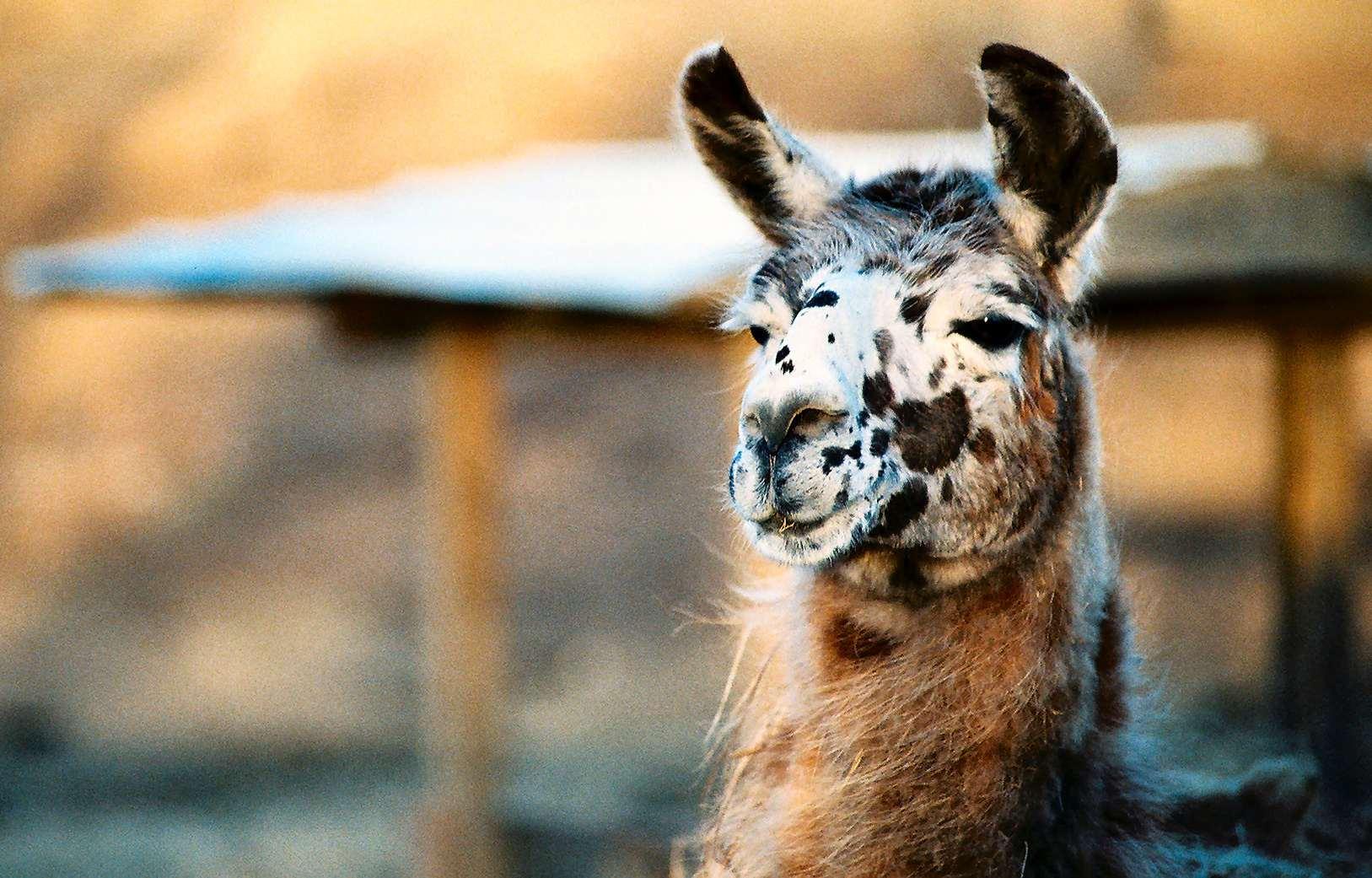 Tierfotografie eines Lamas im Zoo