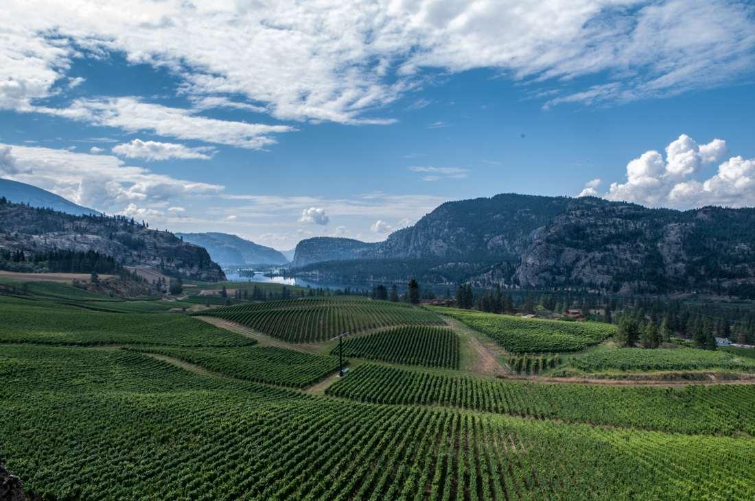 Eine Landschaftsfotografie von Weinstöcken in Kanada